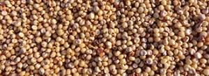 grains-sorgho